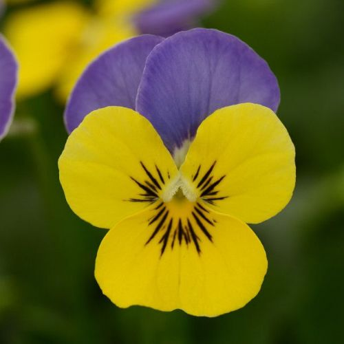 Viola Butterfly Blue Yellow